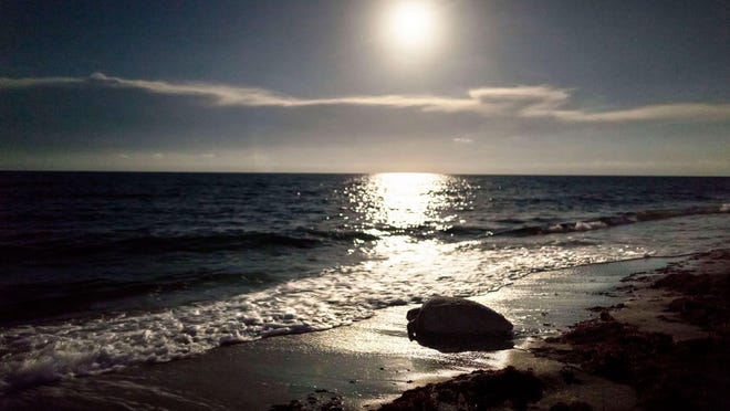 The moon illuminates the sand and sea as a loggerhead turtle crawls to the ocean after laying her eggs on the beach in Juno Beach.