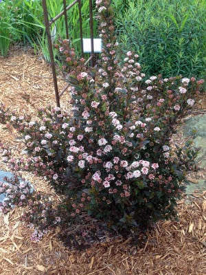 'Donna May' PP 22,634 (Little Devil™ Ninebark) has been chosen as the Woody Ornamental Plant of the Year by the Wisconsin Nursery and Landscape Association.