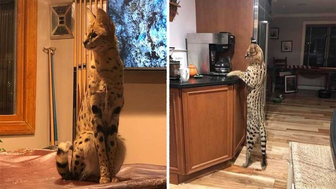 Police in New Hampshire are asking residents to be on the lookout for a missing African serval cat.