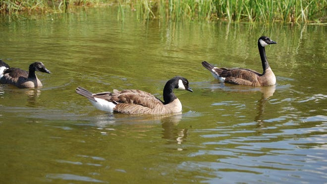 For the second year in a row, the state will have a Canada goose hunting season in August with hopes that it will help control goose numbers in the west-central part of the state. There, crop depredation remains an issue.