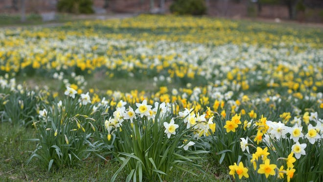 The field of daffodils was in full bloom at Tower Hill Botanic Garden in April.