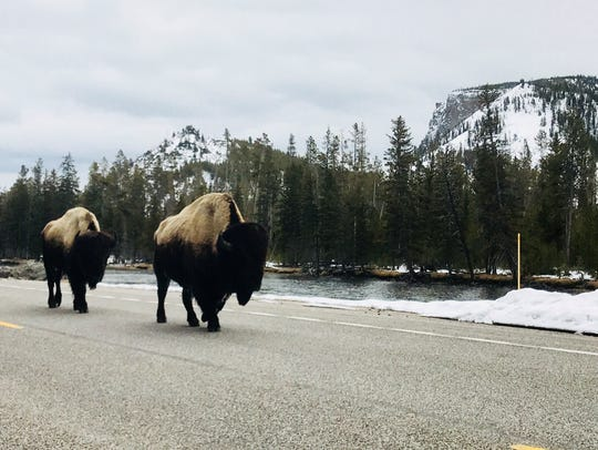 Two wet bison amble down Grand Loop Road in Yellowstone