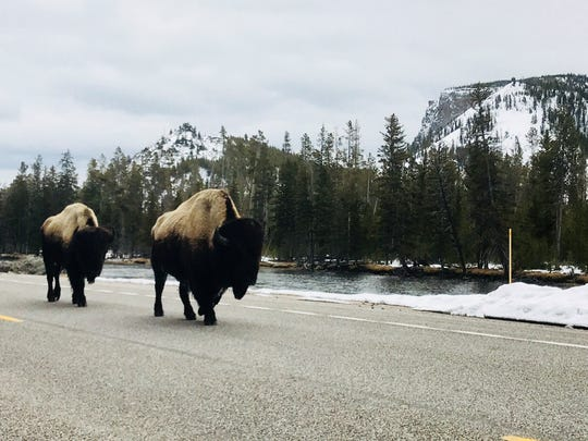 Two wet bison amble down Grand Loop Road in Yellowstone National Park.