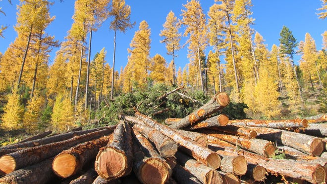 Fresh cut logs lie stacked and ready for transport to the sawmill in privately owned timberland outside Kalispell.