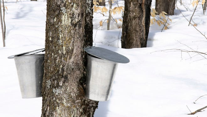 "Buckets for collecting maple sap during what's known as ""sugaring season"" in the spring."