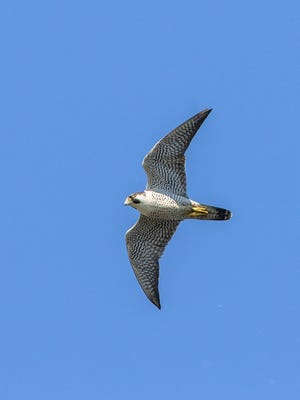 One of Battle Creek's peregrine falcons flies overhead.