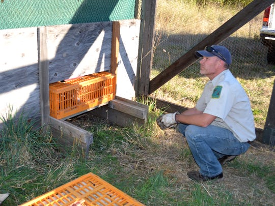 David Speten, the acting manager at E.E. Wilson, takes his turn stacking and replacing pheasant-holding boxes, each holding nine of the birds.