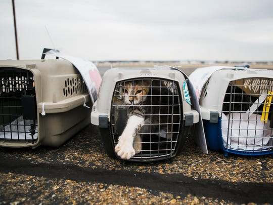February 14, 2017 - Dots, a Calico cat from DeSoto County Animal Serivces, moves around in her crate as she waits to be loaded onto a plane at Signature Flight Support on Tuesday morning.