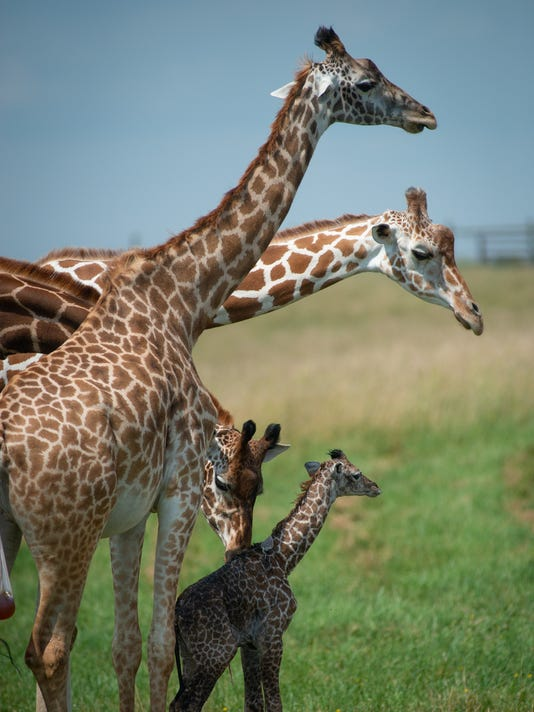 636669944237473109-Giraffe-Calf-7303---Grahm-S.-Jones-Columbus-Zoo-and-Aquarium.jpg