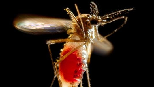 A female mosquito (Aedes aegypti) takes flight after leaving the skin of a host.