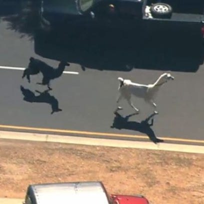 Two llamas running through Sun City, Ariz., drew a