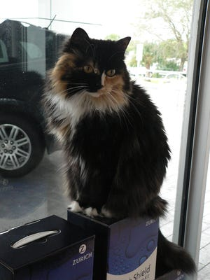 Mis Kitty, a long-haired calico greets customers at Roger Dean Chevrolet in Cape Coral.