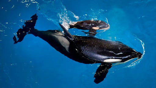 In this image provided by SeaWorld Parks & Entertainment orca Takara helps guide her newborn to the water's surface at SeaWorld San Antonio, Wednesday, April 19, 2017, in San Antonio. The company based in Orlando, Fla., announced the birth Wednesday.