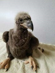 An American eaglet is shown after its examination after
