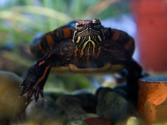 """Speedball sits sedately in his 10-gallon aquarium at B.J.'s Electronics and Riverside Raceway. The cold weather has put Joe Lorey's pet in a semi-hibarnative condition, but when he's at his best he is constantly moving and eating.  """"He begs for food like a dog,"""" Lorey said."""