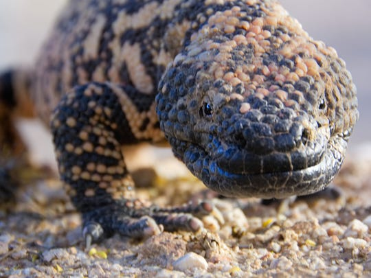 Gila monster: The largest lizard native to the United States is easily identified thanks to vivid orange and yellow markings. It's found predominantly in the Sonoran, Mojave and Chihuahuan deserts, and is protected by Arizona laws.
