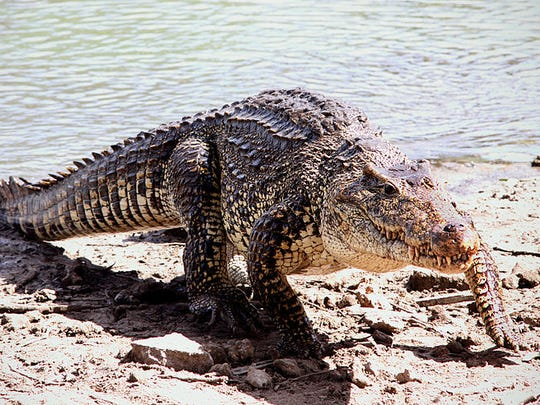 There are no alligators in the Caribbean, but the region does have crocodiles. Growing up to 20 feet long and weighing a ton, they're large and in charge. The Cuban crocodile is billed as the fun-sized version, but still get up to 11 feet long and 500 pounds.