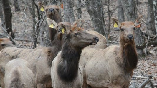 A group of elk from a previous shipment from Kentucky are shown in a holding pen in northern Wisconsin shortly after their transfer.