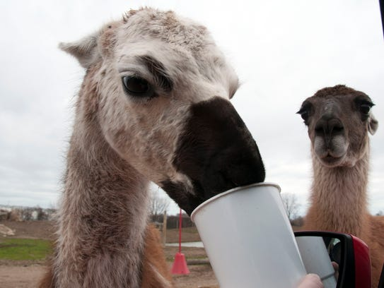 Hungry alpacas and llamas have no problem getting close