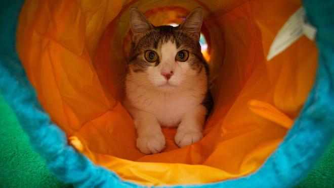 A cat plays in a cat tunnel.