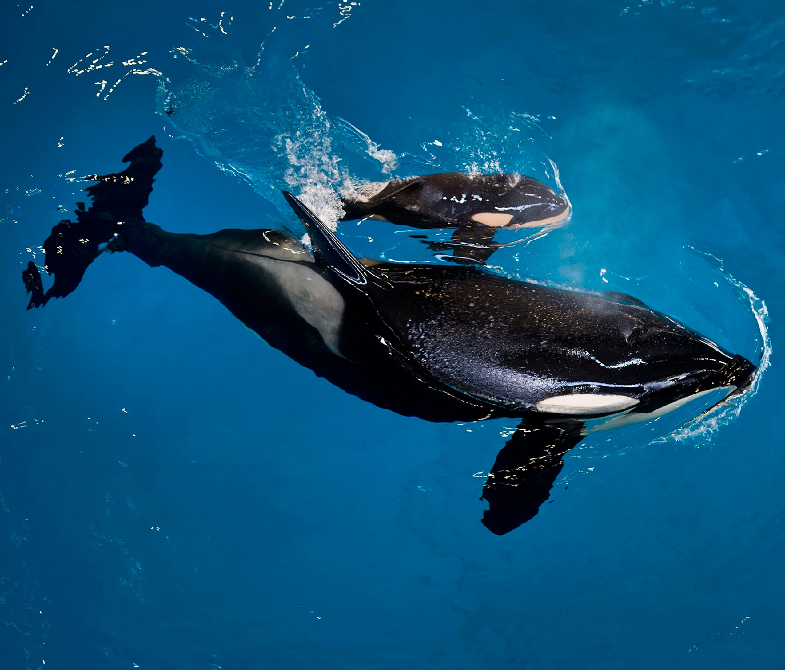 In this image provided by SeaWorld Parks & Entertainment orca Takara helps guide her newborn to the water's surface at SeaWorld San Antonio on Wednesday.