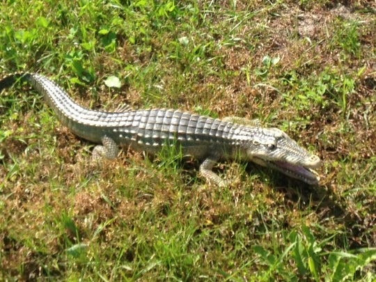 A 2-foot toy alligator suns itself near a creek in Stearns County in Minnesota.