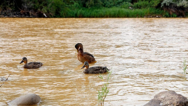 Ducks wade in the Animas River as orange sludge from a mine spill upstream flows past Berg Park in Farmington, N.M., Saturday, Aug. 8, 2015. About 1 million gallons of wastewater from Colorado's Gold King Mine began spilling into the Animas River on Wednesday when a cleanup crew supervised by the Environmental Protection Agency accidentally breached a debris dam that had formed inside the mine. The mine has been inactive since 1923.