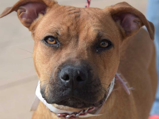 Hope - Female pitbull mix, adult. Intake date: 8/13/2017