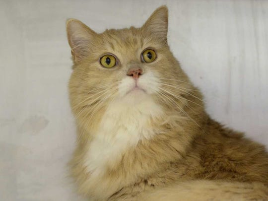 Lily Meow - Female domestic long hair, adult. Intake