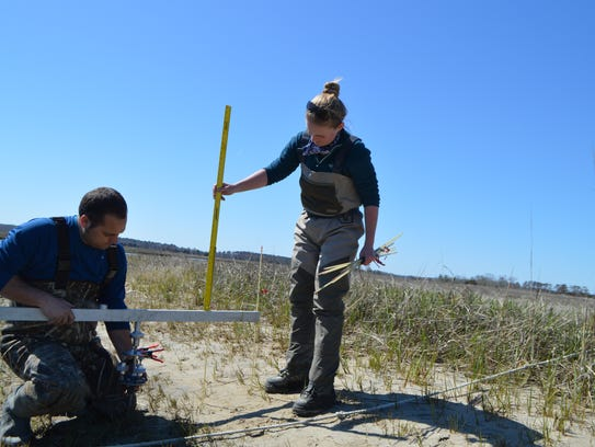 Scientists measure a tidal salt marsh at Lewes to determine