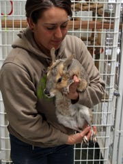Ali Gomez holds Bert, a Patagonian cavy