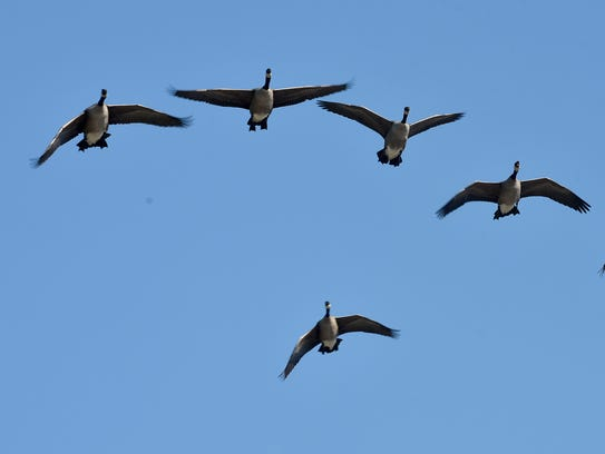 A flock of geese circle Fountain City Lake looking