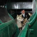 Ivan Hochstetler encourages three fawns to proceed through the opening of the Deerhandler that is used for administering medications, vaccinations, or other type of handling that is required or needed. Hochstetler said he and his sons were able to vaccinate approximately 40 head of deer in less than two hours using this equipment.