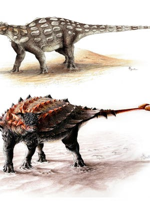 Two types of akylosaurs, a Gobisaurus, top, compared with Ziapelta, below, an ankylosaur with a fully developed tail club.