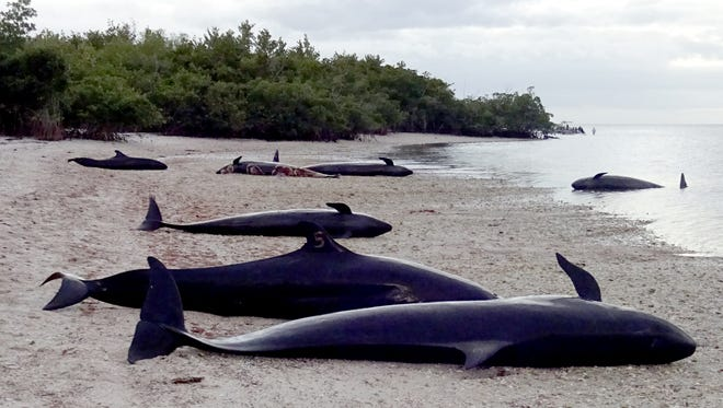 Seven dolphins, a species known as false orcas, lie dead on a remote beach at Hog Key on Saturday, Jan. 14, 2017, on the western edge of Everglades National Park south of Chokoloskee, Fla. In all, more than 80 dolphins died, including 10 that had to be euthanized. Another dozen or so dolphins were stranded in the area, but they are unaccounted for. Scientists have taken samples from the dolphins to try to determine a cause of the deaths of the animal, which had empty stomachs and usually are found in deeper waters offshore.