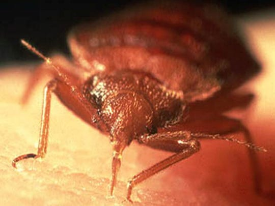 Detail photo of a bed bug.