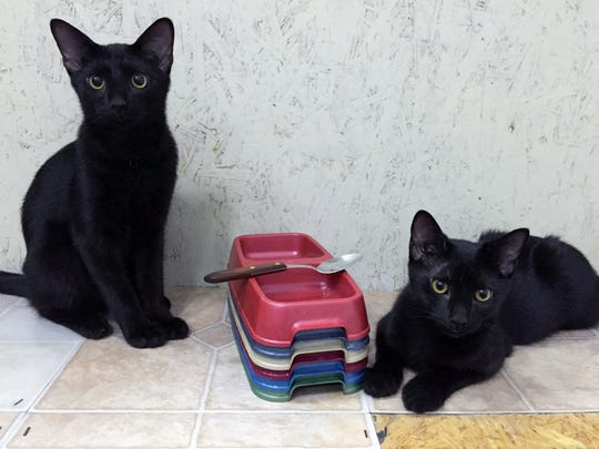 Newly named Mau and Lua were two of several black kittens
