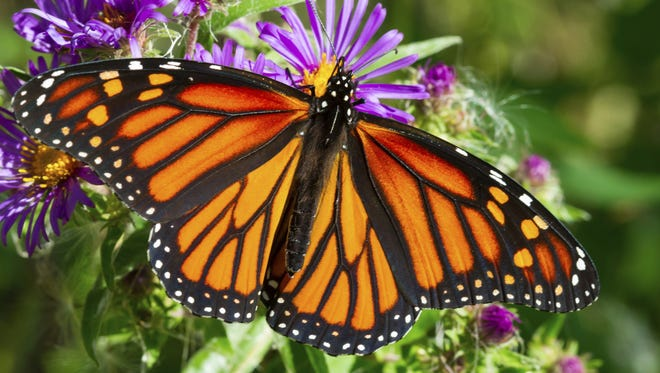 Monarch butterflies have rebounded somewhat since attention was paid to the diminishing availability of milkweed.