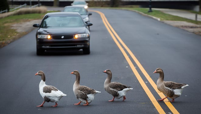 Geese cross a newly paved section of road on W. White River Boulevard Thursday afternoon.