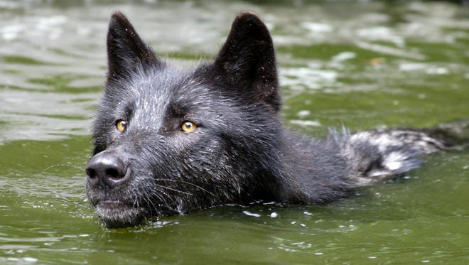 Zephyr, an ambassador wolf, cools off with a swim at the Wolf Conservation Center in South Salem.
