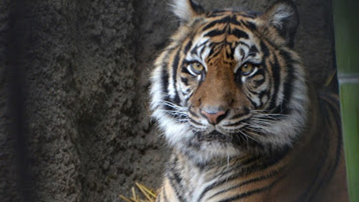Baha, a 15-year-old tiger at the Sacramento Zoo, died