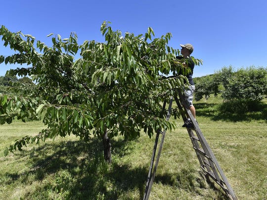 Joshua Vazemiller of Columbia, S.C., picks cherries at Paradise Farms Orchard, 2565 County C, Brussels (southern Door County) on July 7, 2018.