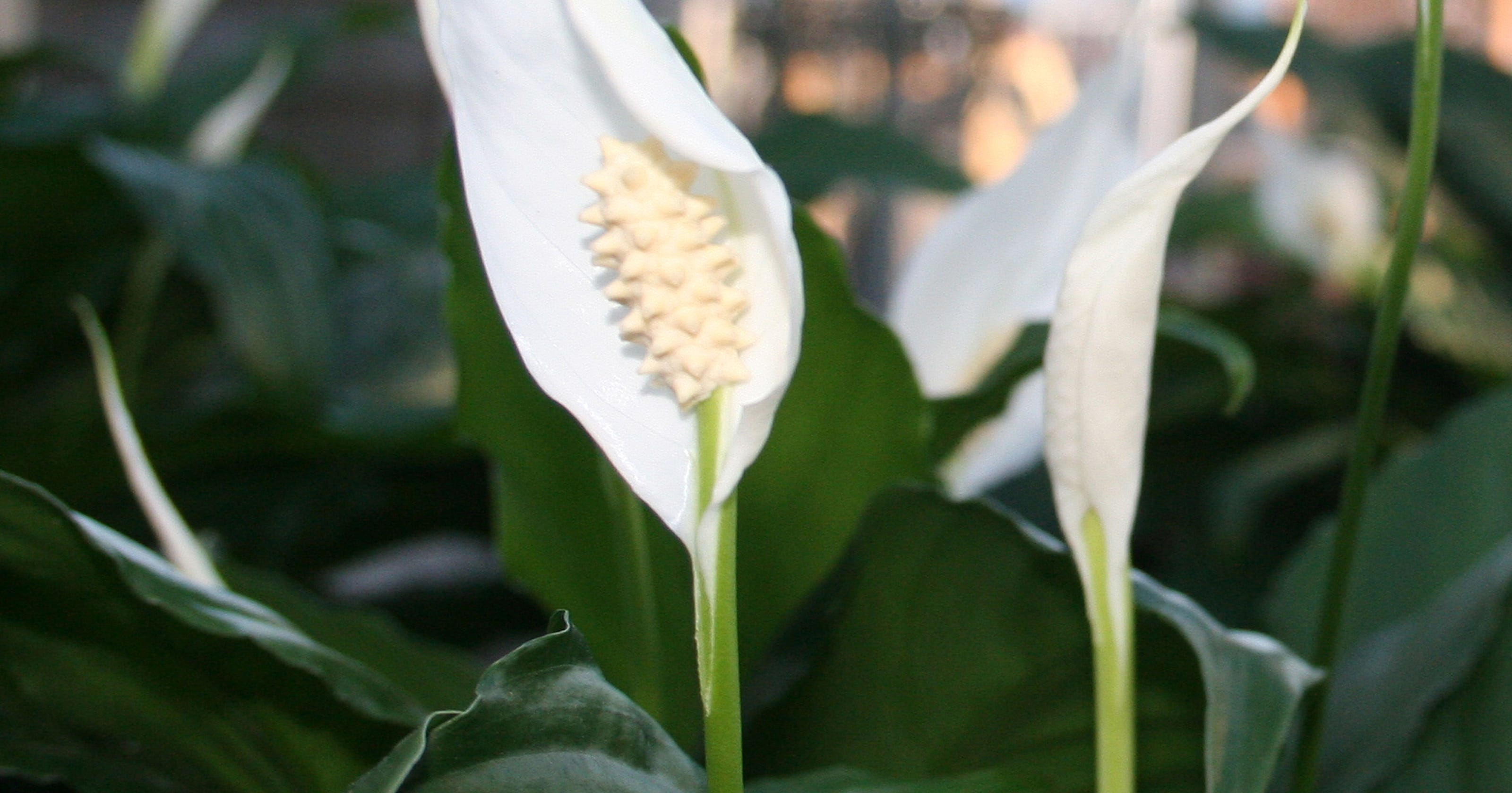 Peace Lily Air Cleaning Household Plant