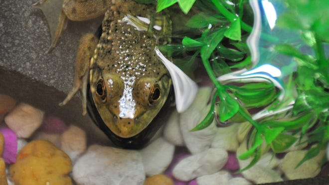 An educational exhibit at the Mockingbird Branch Library this summer started with a tadpole that is now a frog, pictured on Wednesday, June 20, 2018.