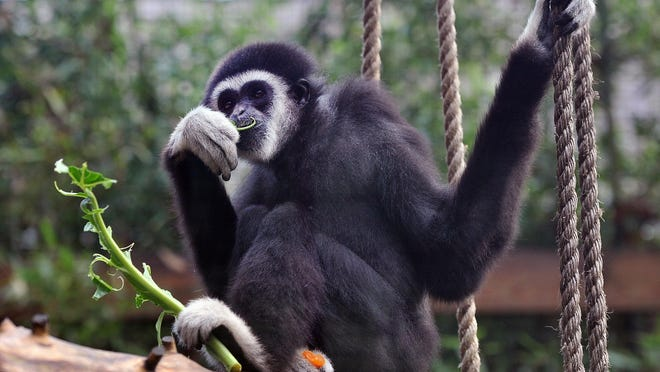 According to Cohanzick Zoo, $5 will purchase enough bananas to keep Koko, the white-handed gibbon, happy for an entire week.