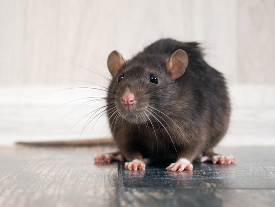 3. Rodents. Rats may have recently gotten off the hook