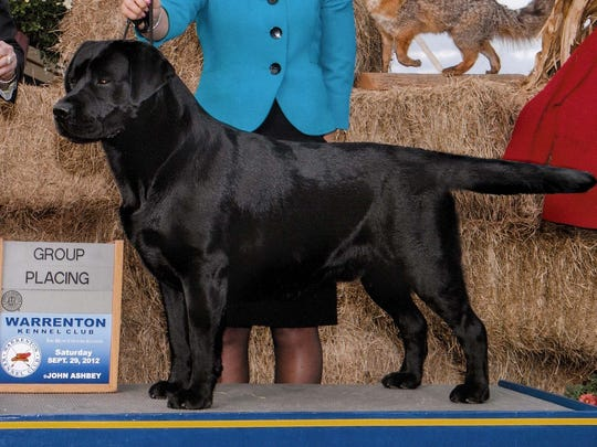 Jeffrey Moore's dog  Echo, a 5-year-old male Labrador retriever, will participate in the Westminster Kennel Club Dog Show. It is one of two of Moore's Labrador retrievers that will compete.