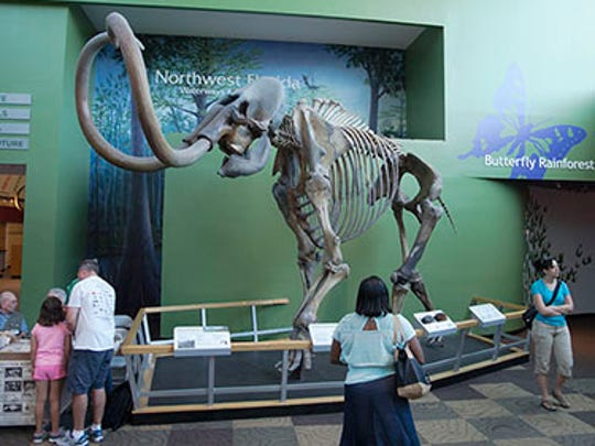 This 16,000-year-old Columbian mammoth is on display at the Florida Museum of Natural History in Gainesville.