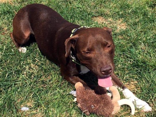 Delilah is a 2-year-old, 35-pound Labrador retriever
