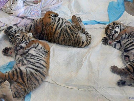 The Malayan tiger cubs at The Cincinnati Zoo.